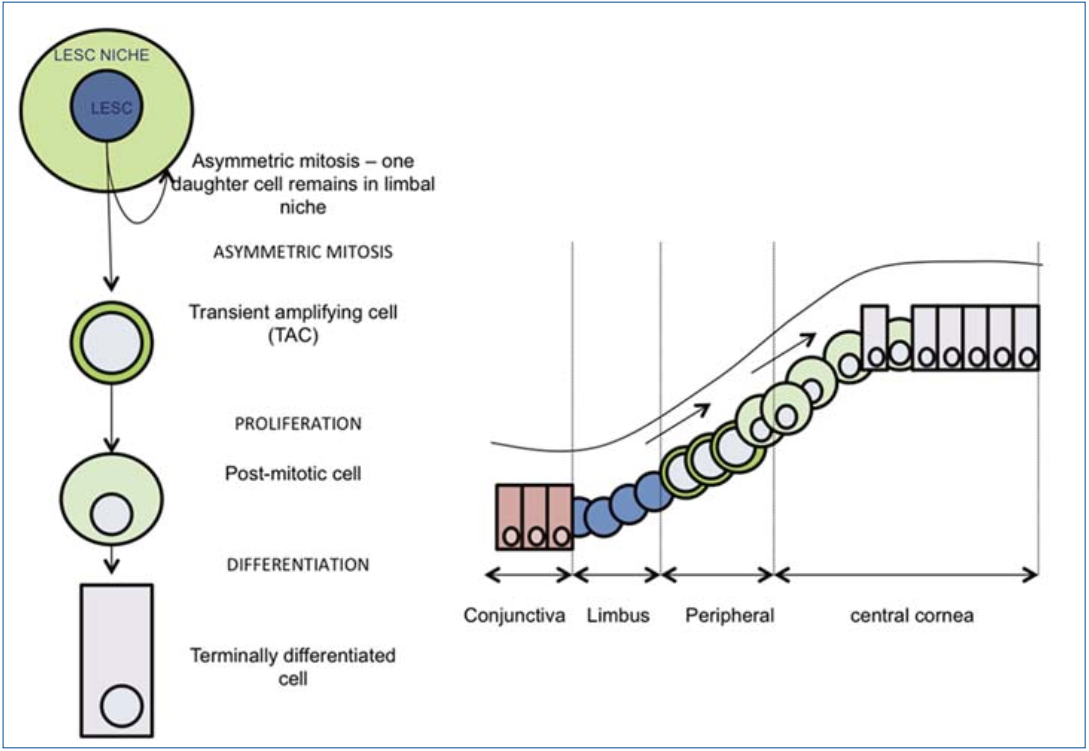 SEEOS - Ex vivo cultivation of limbal epithelial stem